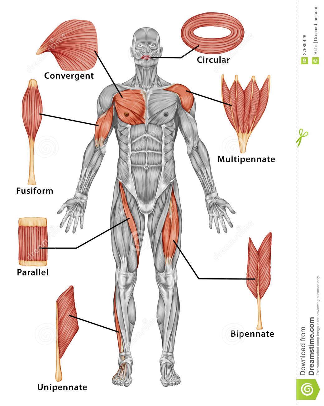 Clasificación de los músculos esqueléticos | Anatomia en grupo